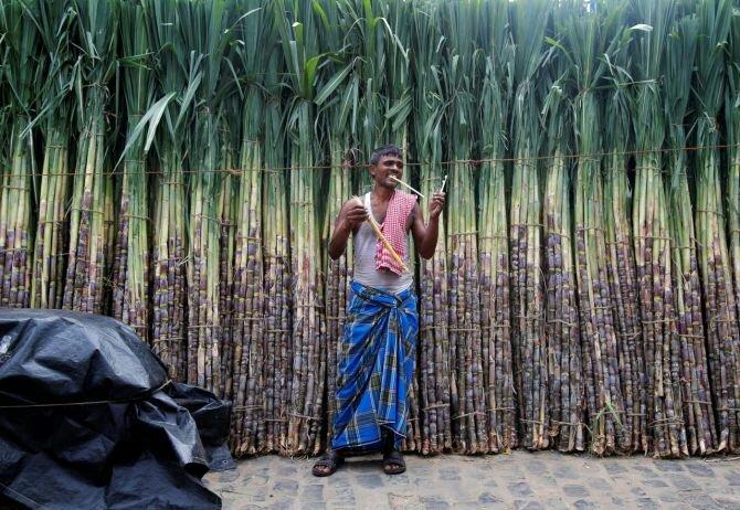 Sugarcane Slip Calendar
